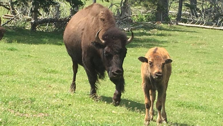 Young bison 2018 July